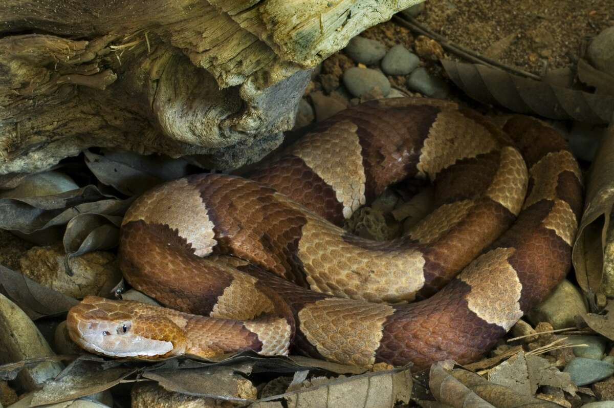 A copperhead was recently spotted near a bayou in Cinco Ranch.