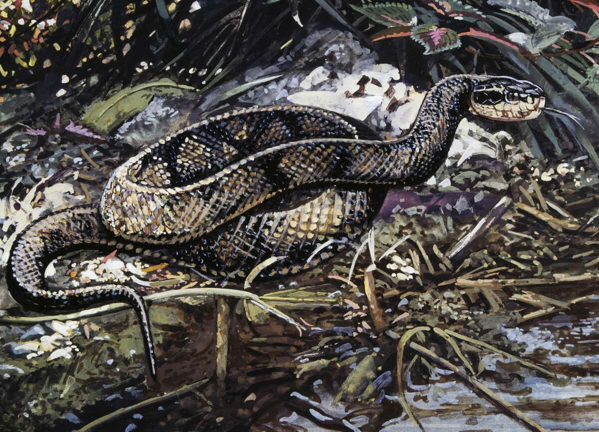 WaterMoccasin or Cottonmouth Symptoms of bite: Permanent tissue and muscle damage, loss of an extremity, low-blood pressure, pain, shock, change in skin color, internal bleeding (depending on bite location), extreme pain. Lethal bite: Can be deadly if untreated. Medical attention necessary: Yes. Source:Healthline, Livescience
