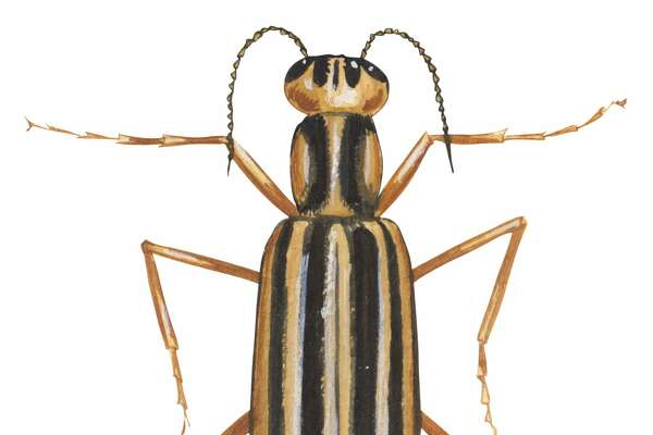 Insects - Blister Beetles      Found in Houston-area : Yes.  Symptoms of bite : Blister Beetles don't bite, but if their bodies make contact with human skin, they can create painful blisters.  Lethal bite : No.  Medical attention necessary : First aid, but no further medical attention necessary.  Source: University of Florida