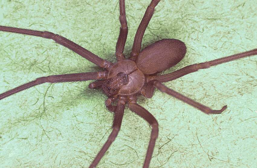 Spiders Houston's heat and humidity are enough to force anyone indoors, including spiders. While most of the eight-legged bugs are harmless, a bite from a black widow or brown recluse - Texas' two venomous species of spiders - is reason enough to keep the home spider-free.