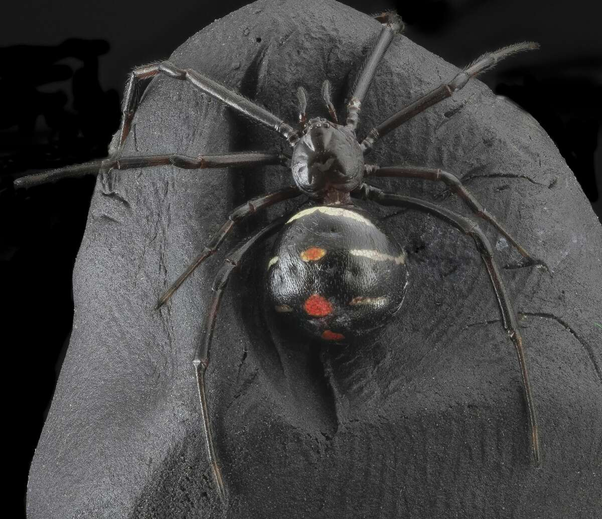 Black Widow Symptoms of bite: Nausea, chills, increased blood pressure, headache, sweating, weakness and fever.Lethal bite: In rare cases, yes.Medical attention necessary: Yes.Source:Healthline