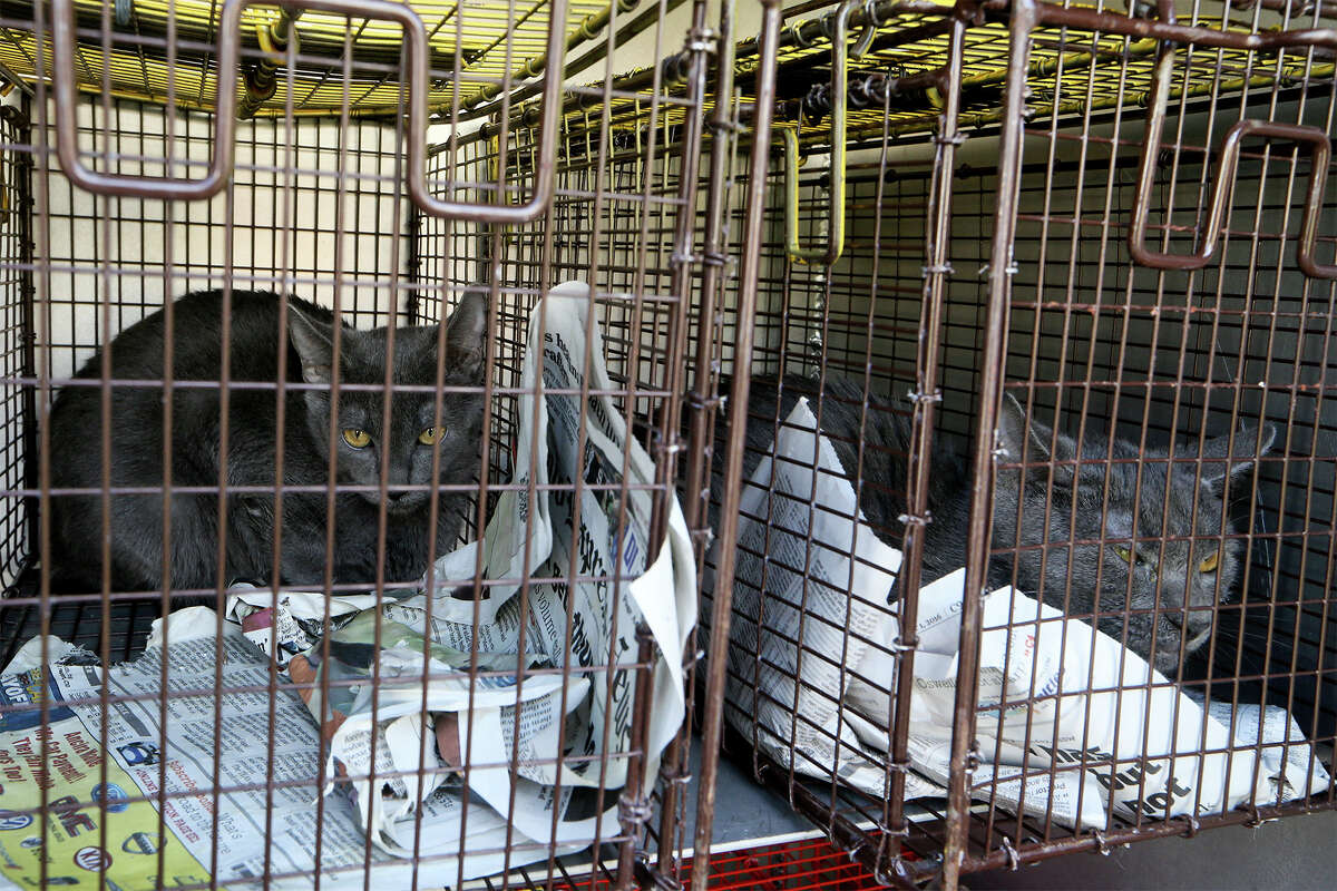 Two of the more than 40 cats removed by Animal Care Services from a home in 6900 block of Wright Way on the Northwest Side on Monday, Nov. 28, 2016. MARVIN PFEIFFER/ mpfeiffer@express-news.net