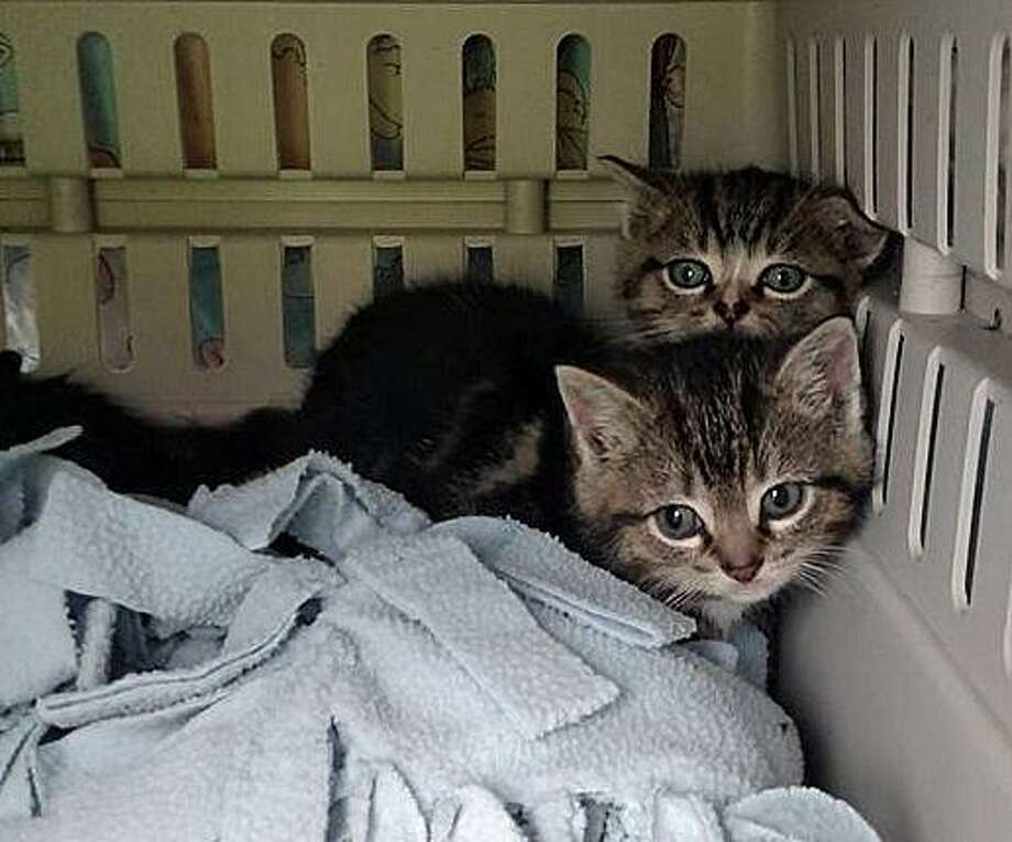 These are two of the four kittens who were rescued after being trapped in a storm basin on the Quinnipiac University campus on Tuesday, Nov. 29, 2016. It's likely that the two tabbys would have drowned if not for a coordinated effort by police, first responders, public works crews, the university and an aninal rescue group. Sandbags were used to block water from entering the storm rain, a canopy was erected over the drain and a motorized camera was dropped into the pipe to keep an eye on the kittens. Photo: Hamden Police Department Via Facebook