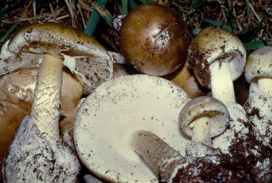 Amanita phalloides, the Death Cap Mushroom, is the world's deadliest mushroom. It is often confused with edible species, fooling mushroom hunters with tragic results. Photo: Dea / P. Puccinelli, Getty Images