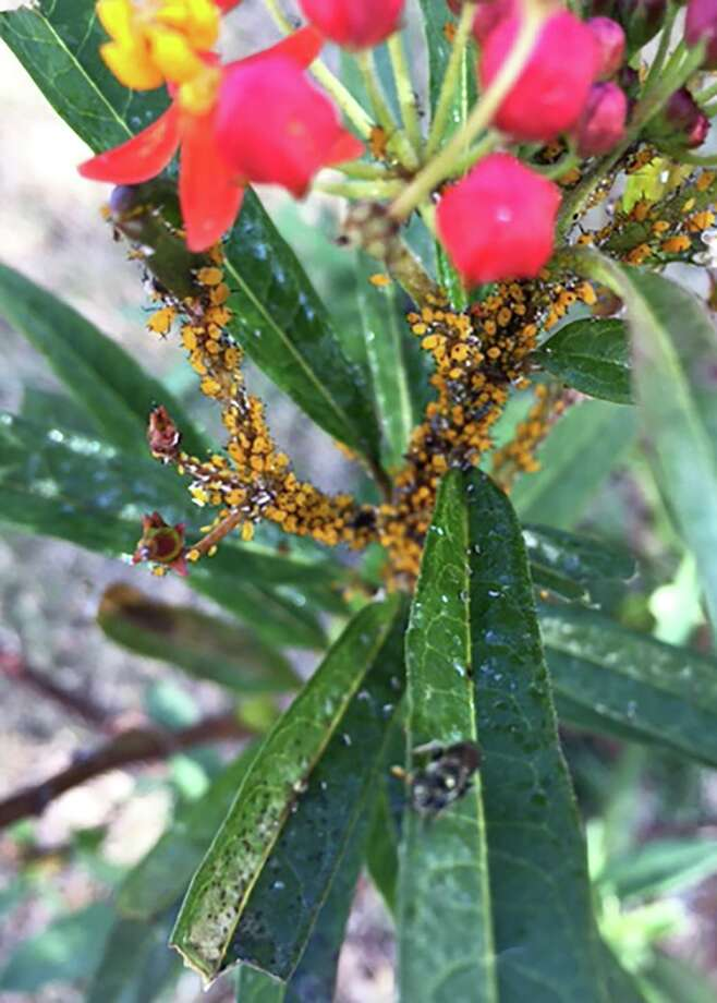Aphids are a common problem with milkweed. Remove them with an insecticidal soap. Photo: Courtesy Photo