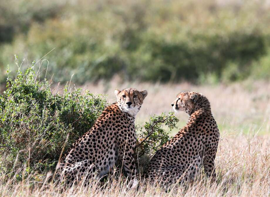 NAIROBI, Nov. 30, 2016 -- Two cheetahs are seen at the world's famous Maasai Mara National Reserve, Kenya, on Nov. 29, 2016. More than 600 species of both birds and wildlife are found here including elephant, lion, cheetah, giraffe, hyena and vulture. (Xinhua/Pan Siwei via Getty Images)
