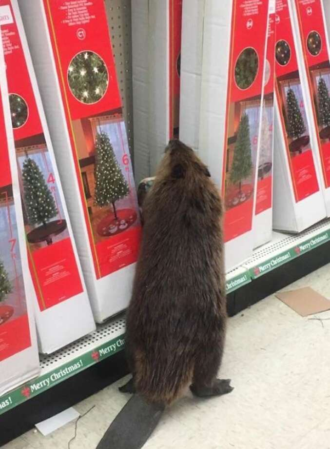 A curious beaver checks out Christmas decorations at a dollar store outside of Washington, D.C. Photo: St. Mary's County Sheriff's Office