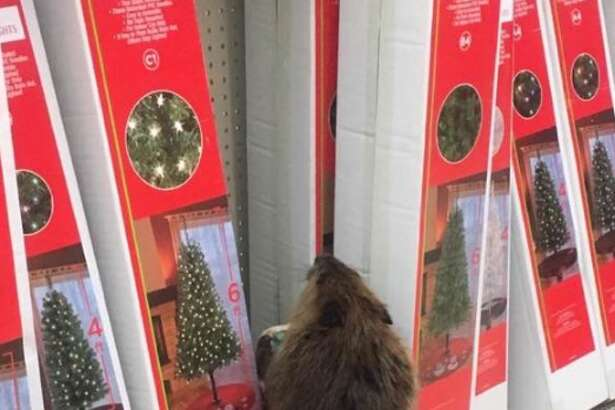 A curious beaver checks out Christmas decorations at a dollar store outside of Washington, D.C.