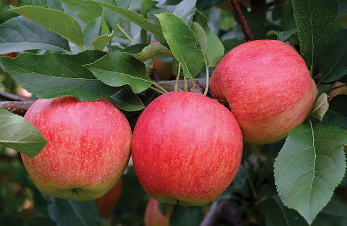Three of the Gala apples produced last season at Liberty Apple Orchard.