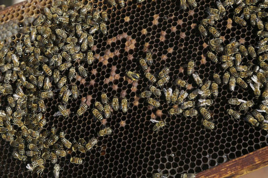 In this Monday, Oct. 31, 2016, A queen bee, is seen at center with yellow wings, with other bees on a beehive in a field outside Mandres village at the Turkish Cypriot breakaway northern part of the divided island of Cyprus. Greek Cypriot beekeeper Soteris Antoniou and his Turkish Cypriot friend Kudret Balci have resolved to breed a Cypriot queen bee to replace foreign imports that simply can't cope with the ethnically-split island's long, scorching summer months. And in the process, they're showing how the two communities are reaching out to each other for practical solutions to common problems instead of relying on ill-suited, imported fixes. (AP Photo/Petros Karadjias)