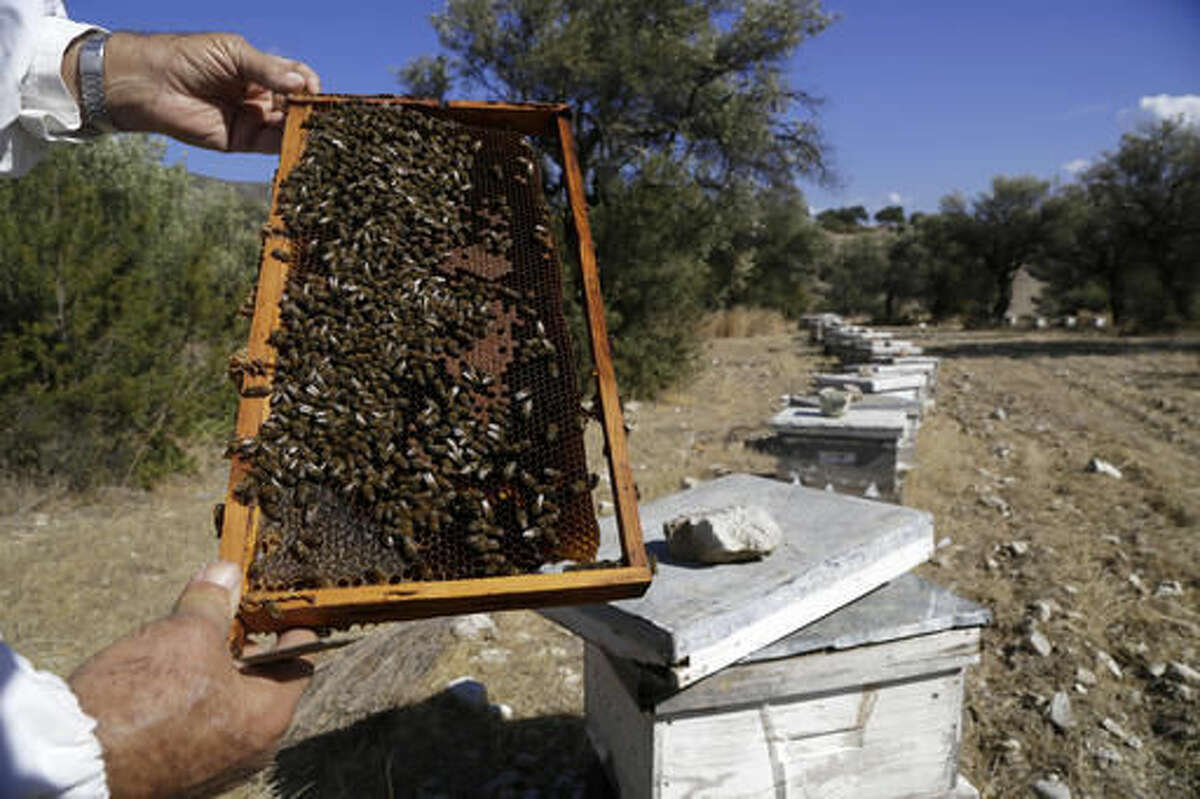 In this Monday, Oct. 31, 2016, Greek Cypriot beekeeper Soteris Antoniou checks the bees in the field outside of Mandres village at the Turkish Cypriot breakaway northern part of the divided island of Cyprus. Soteris Antoniou and his Turkish Cypriot friend Kudret Balci have resolved to breed a Cypriot queen bee to replace foreign imports that simply can't cope with the ethnically-split island's long, scorching summer months. And in the process, they're showing how the two communities are reaching out to each other for practical solutions to common problems instead of relying on ill-suited, imported fixes. (AP Photo/Petros Karadjias)