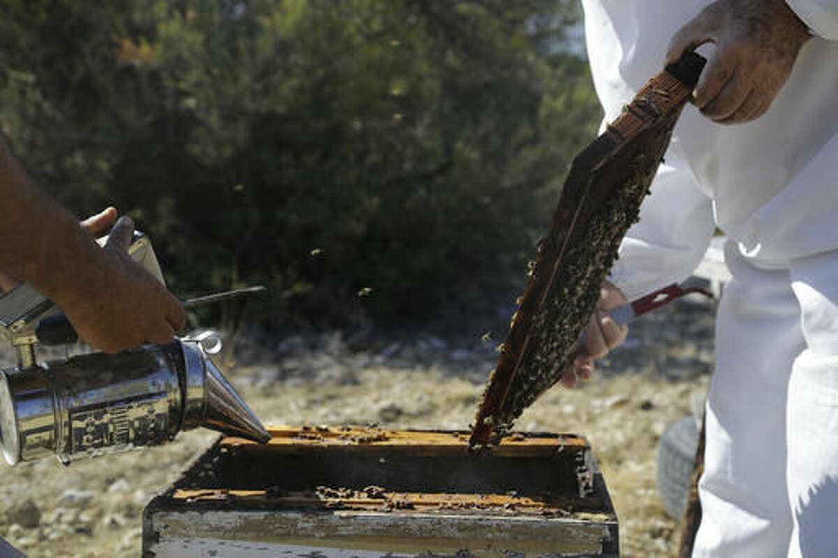In this Monday, Oct. 31, 2016, Greek Cypriot beekeeper Soteris Antoniou, right, and Turkish Cypriot friend Kudret Balci checks their bees in the field outside of Mandres village at the Turkish Cypriot breakaway northern part of the divided island of Cyprus. Soteris Antoniou and his Turkish Cypriot friend Kudret Balci have resolved to breed a Cypriot queen bee to replace foreign imports that simply can't cope with the ethnically-split island's long, scorching summer months. And in the process, they're showing how the two communities are reaching out to each other for practical solutions to common problems instead of relying on ill-suited, imported fixes. (AP Photo/Petros Karadjias)
