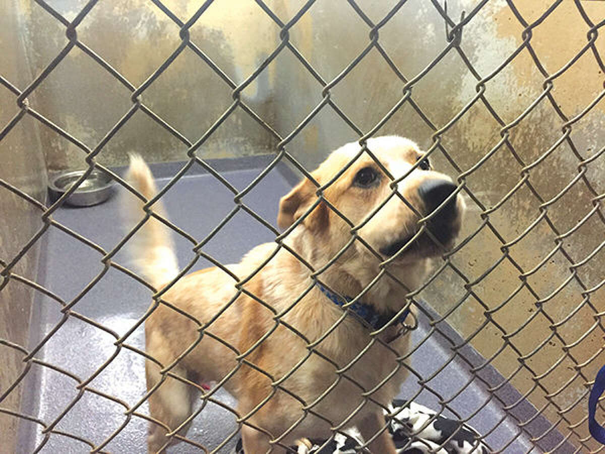 A dog stands in one of the Metro East Humane Society's kennels that is about to be overhauled.