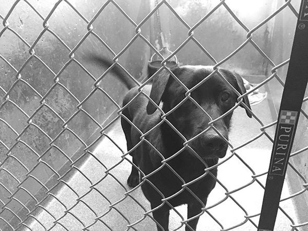 This black lab, one of eight dogs at MEHS, is currently up for adoption.