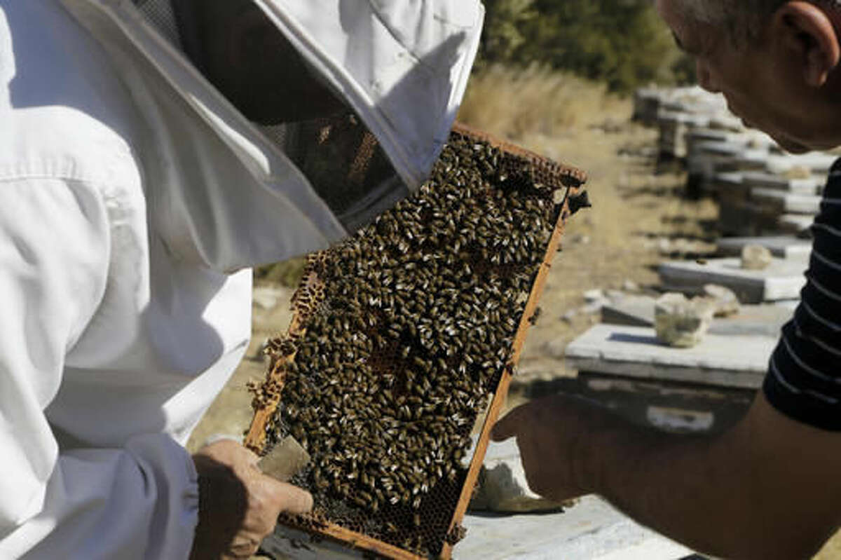 In this Monday, Oct. 31, 2016, Greek Cypriot beekeeper Soteris Antoniou, left, and Turkish Cypriot friend Kudret Balci checks their bees in the field outside of Mandres village at the Turkish Cypriot breakaway northern part of the divided island of Cyprus. Soteris Antoniou and his Turkish Cypriot friend Kudret Balci have resolved to breed a Cypriot queen bee to replace foreign imports that simply can't cope with the ethnically-split island's long, scorching summer months. And in the process, they're showing how the two communities are reaching out to each other for practical solutions to common problems instead of relying on ill-suited, imported fixes. (AP Photo/Petros Karadjias)