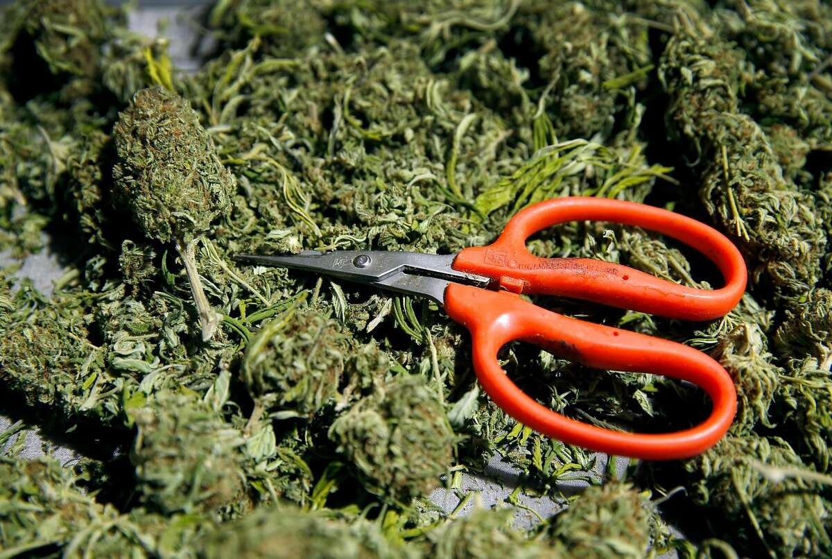 """Seasonal workers trim cannabis buds with scissors at a warehouse in rural Sonoma County on Thursday, Dec. 1, 2016 to prepare the product for distribution by the BASA Collective medicinal marijuana dispensary. """"Trimmigrants"""" can earn upwards of $300 a day working 12-hour shifts six-days-a-week from September to December."""