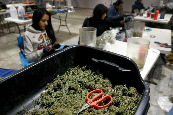 "Seasonal workers trim cannabis buds with scissors at a warehouse in rural Sonoma County on Thursday, Dec. 1, 2016 to prepare the product for distribution by the BASA Collective medicinal marijuana dispensary.  ""Trimmigrants"" can earn upwards of $300 a day working 12-hour shifts six-days-a-week from September to December."