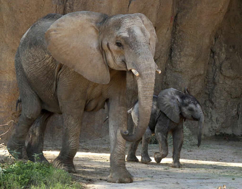 In this undated photo released by the Dallas Zoo, male baby elephant Ajabu walks along its mother Mlilo in the Giants of the Savanna exhibit at the Dallas Zoo in Dallas. The Dallas Zoo on Wednesday announced the male calf named Ajabu has gone on public display, with his mother, in the Giants of the Savanna exhibit. Ajabu was born May 14 to Mlilo (muh-LEE'-loh). The pachyderm was pregnant when she arrived earlier this year at the Dallas Zoo. (The Dallas Zoo via AP)