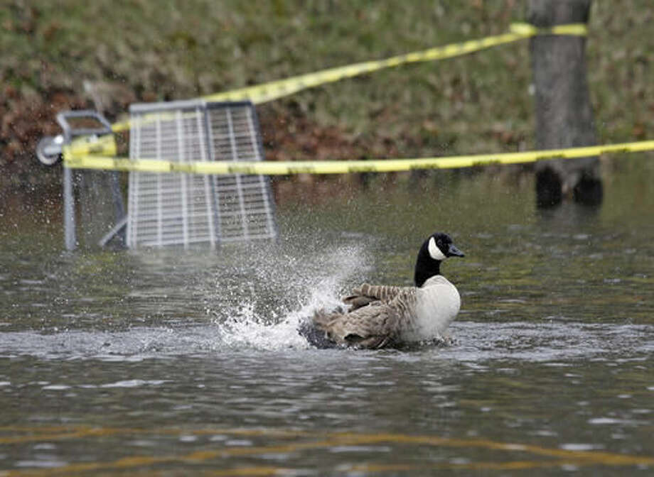 In this April 1, 2010, photo, a Canada Goose uses a flooded parking lot to take a bath in North Andover, Mass. Goose poop is piling up in parks and playgrounds in Boston and city officials are looking for ways to rein it in. (AP Photo/Mary Schwalm)