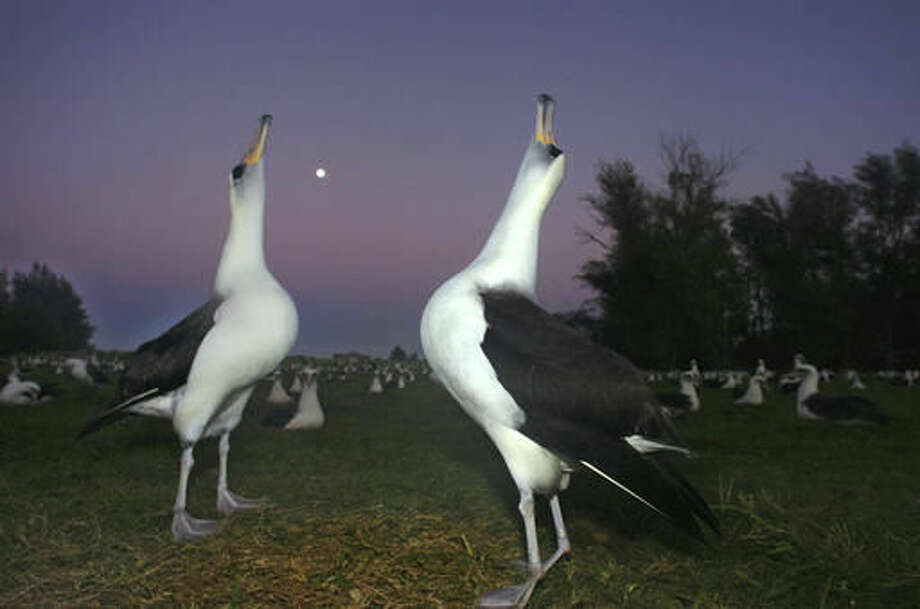 FILE — In this Dec. 13, 2005 file photo, two Laysan albatross do a mating dance on Midway Atoll in the Northwestern Hawaiian Islands. The Battle of Midway was a major turning point in World War II's Pacific theater. But the remote atoll where thousands died is now a delicate sanctuary for millions of seabirds, and a new battle is pitting preservation of its vaunted military history against the protection of its wildlife. Midway, now home to the largest colony of Laysan albatross on Earth, is on the northern edge of the recently expanded Papahanaumokuakea Marine National Monument, now the world's biggest oceanic preserve. (AP Photo/Lucy Pemoni, File)