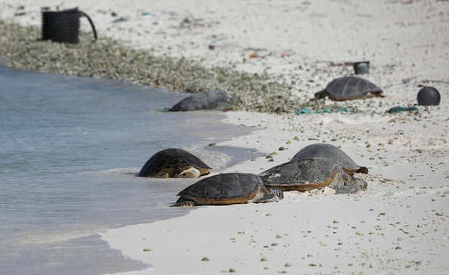 FILE - In this Sept. 1, 2016 file photo, green sea turtles rest in the sand on Turtle Beach on Midway Atoll in the Papahanaumokuakea Marine National Monument, Northwestern Hawaiian Islands, during a visit by President Barack Obama. The Battle of Midway was a major turning point in World War II's Pacific theater. But the remote atoll where thousands died is now a delicate sanctuary for millions of seabirds, and a new battle is pitting preservation of its vaunted military history against the protection of its wildlife. Midway, now home to the largest colony of Laysan albatrosses on Earth, is on the northern edge of the recently expanded Papahanaumokuakea Marine National Monument, now the world's biggest oceanic preserve. (AP Photo/Carolyn Kaster, File)