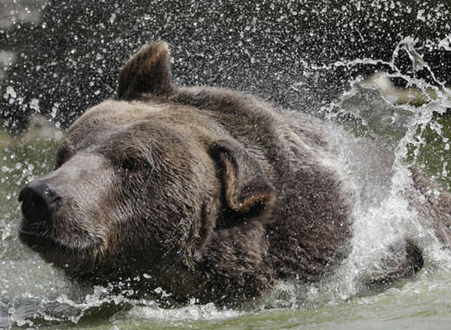 In this Wednesday, Sept. 7, 2016 photo, Leo, a Syrian brown bear, cools off in a pond at the Orphaned Wildlife Center in Otisville, N.Y. (AP Photo/Mike Groll)