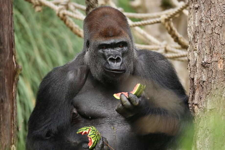"In this undated photo provided by ZSL on Friday, Oct. 14, 2016, Kumbuka eats watermelon in his enclosure at London Zoo, in London. Management of London Zoo said Friday that a silverback gorilla's escape from its enclosure was a ""minor incident"" that posed no danger to the public. But a wildlife advocacy group said the incident, which ended without injuries to visitors or the animal, could have had a more tragic outcome, and is calling for an official investigation. (ZSL/via AP)"
