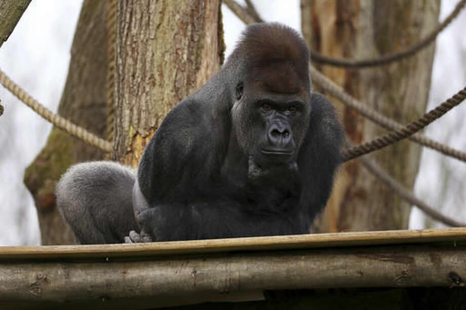 "In this undated photo provided by ZSL on Friday, Oct. 14, 2016, silverback gorilla Kumbuka sits in his enclosure at London Zoo, in London. Management of London Zoo said Friday that a silverback gorilla's escape from its enclosure was a ""minor incident"" that posed no danger to the public. But a wildlife advocacy group said the incident, which ended without injuries to visitors or the animal, could have had a more tragic outcome, and is calling for an official investigation. (ZSL/via AP)"
