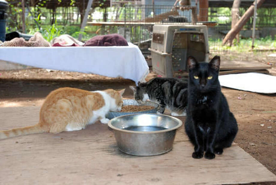 Cats are shown eating at feral cat colony near Honolulu on Thursday, Sept. 15, 2016. Conservationists are concerned about the number of feral cats roaming Hawaii because cat feces washing into the ocean can spread toxoplasmosis, which can be deadly for endangered Hawaiian monk seals. (AP Photo/Audrey McAvoy)