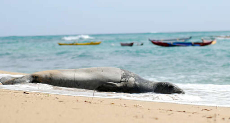 A Hawaiian monk seal, an endangered species, lies on a Waikiki beach in Honolulu on Thursday, September 15, 2016. Conservationists are concerned about the number of feral cats roaming Hawaii because cat feces washing into the ocean can spread toxoplasmosis, which can be deadly for the seals. (AP Photo/Audrey McAvoy)
