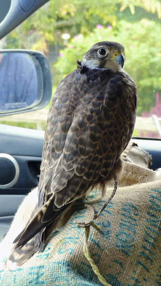 This June 29, 2016 photo shows a male Saker falcon on a tether in truck parked in a driveway near Langley, Wash. Raptors used for bird abatement are trained to chase, not kill. This Saker falcon, an eastern European variety, is one of several raptor species trained by falconers to chase away birds that can damage fruit crops. Some growers have reported losing more than 40 percent of their harvest to bird pests. (Dean Fosdick via AP)