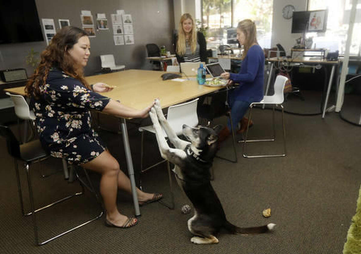 In this Monday, Oct. 17, 2016, photo, Bowie, a 2-year-old husky mix, gives a high-five to employee Rosie Brown, left, at Sterling Communications in Los Gatos, Calif. Many small business owners believe pets improve the quality of work life. (AP Photo/Marcio Jose Sanchez)