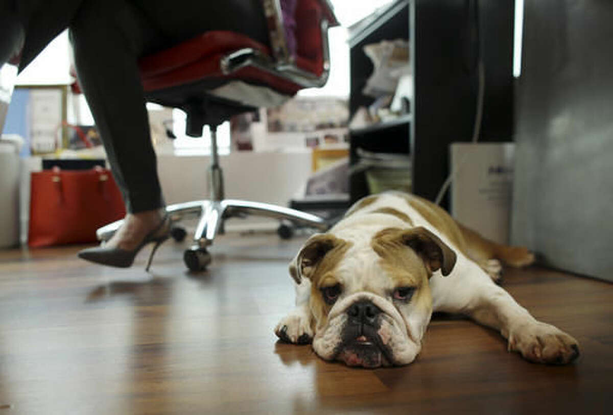 In this Tuesday, Oct. 18, 2016, photo, bulldog Rosie sits under the desk of her owner Barbara Goldberg, CEO of O'Connell & Goldberg Public Relations, at her office in Hollywood, Fla. Goldberg is a small business owner who believes pets improve the quality of their work life, boosting morale and easing tension for staffers. (AP Photo/Lynne Sladky)