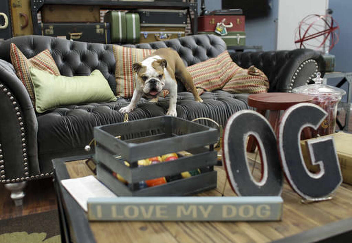 In this Tuesday, Oct. 18, 2016, photo, a bulldog named Rosie plays on a sofa in the office of her owner Barbara Goldberg, CEO of O'Connell & Goldberg Public Relations, in Hollywood, Fla. Goldberg is a small business owner who believes pets improve the quality of their work life, boosting morale and easing tension for staffers. (AP Photo/Lynne Sladky)