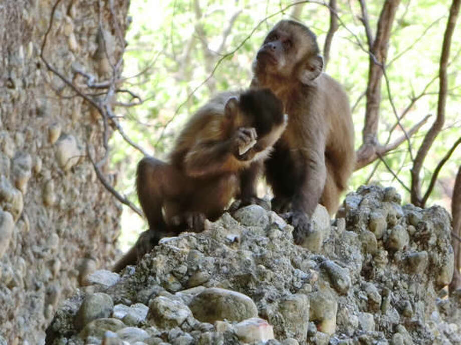 In this 2014 photo made available by the journal Nature, a young bearded capuchin monkey strikes a stone against another in the Serra da Capivara National Park in Brazil. In a report released Wednesday, Oct. 18, 2016, researchers say wild capuchin monkeys in Brazil deliberately break stones, unintentionally producing flakes similar to the ancient sharp-edged tools made by human ancestors. (Michael Haslam via AP)