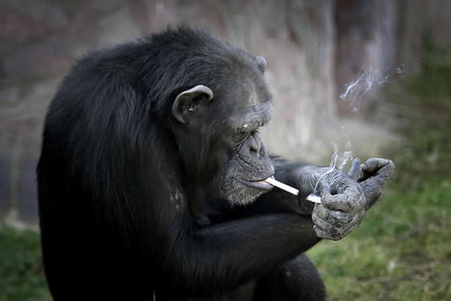 """Azalea, whose Korean name is """"Dallae"""", a 19-year-old female chimpanzee, lights one cigarette from another at the Central Zoo in Pyongyang, North Korea on Wednesday, Oct. 19, 2016. According to officials at the newly renovated zoo, which has become a favorite leisure spot in the North Korean capital since it was re-opened in July, the chimpanzee smokes about a pack a day. They insist, however, that she doesn't inhale. (AP Photo/Wong Maye-E)"""