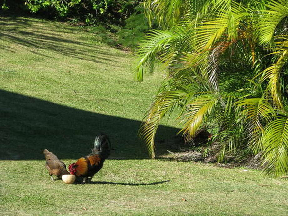 This July 10, 2016 photo shows wild chickens pecking at a coconut shell along the main road on Aitutaki's western coast in the Cook Islands. A handful of islets inside a South Pacific reef, Aitutaki is so uncrowded, safe and friendly that all cars and even scooters and bicycles stop to offer rides to visitors walking along the road. (Giovanna Dell'Orto via AP)