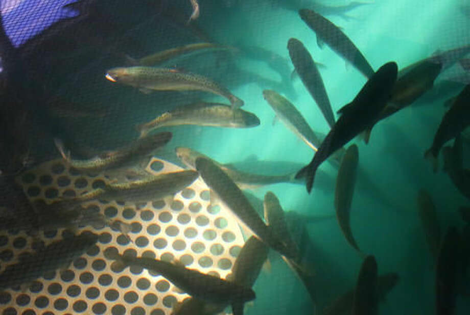 In this Oct. 5, 2016, photo, young salmon are raised at a hatchery on the bank of the San Joaquin River until the obstacles on the river are cleared so they can migrate on their own, during a tour in Friant, Calif.. A decade ago, environmentalists and the federal government agreed to revive a 150-mile stretch of California's second-longest river, an ambitious effort aimed at allowing salmon to again swim up to the Sierra Nevada foothills to spawn.
