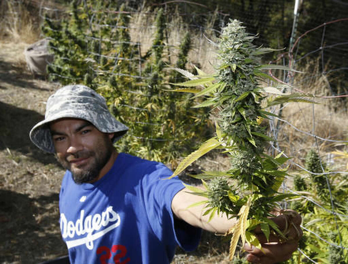 In this Wednesday, Oct. 12, 2016 photo, Rolie Gonzalez III displays a branch of marijuana buds taken for a plant on the farm of grower Laura Costa, near Garberville, Calif. Though Costa and many illegal farmers say they have yearned for the legitimacy and respectability that can come with legalization, they fear the passage of Proposition 64, on the Nov. 8 ballot, which would legalize the recreational use of marijuana, will not only cost them money, but could put them out of business. (AP Photo/Rich Pedroncelli)