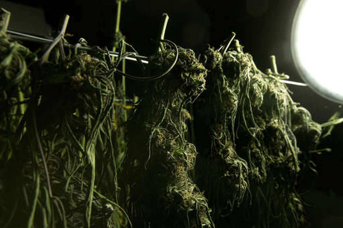In this Thursday, Oct. 13, 2016 photo, marijuana dries at the medical marijuana farm of Tim Blake, near Laytonville, Calif. Blake supports the passage of Proposition 64, the November ballot initiative which would legalize the recreational use of marijuana, saying it's the next big step for an industry emerging from the shadows. (AP Photo/Rich Pedroncelli)