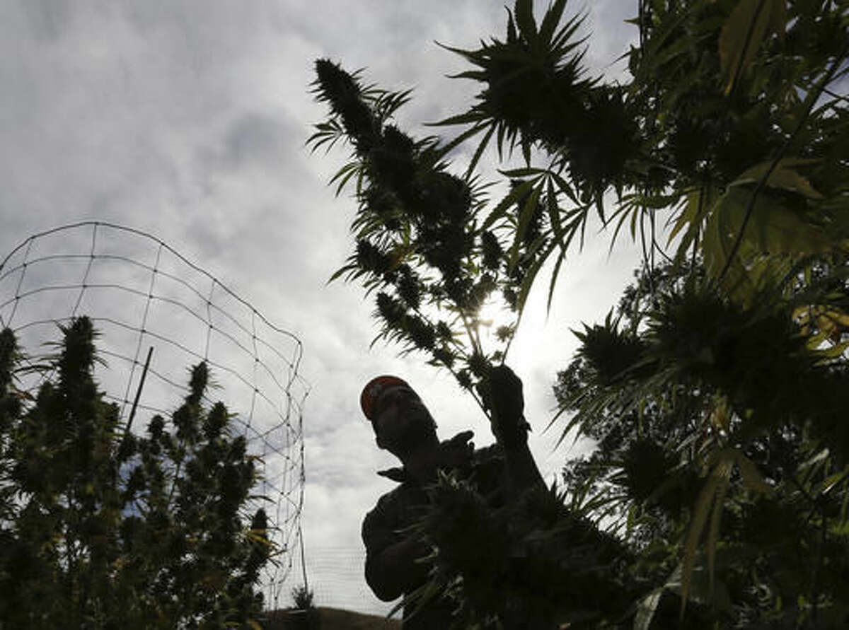 In this Wednesday, Oct. 12, 2016 photo, Aaron Gonzalez removes a branch from a marijuana plant on grower Laura Costa's farm,near Garberville, Calif Costa opposes the passage of Proposition 64, the Nov. 8 ballot initiative which would legalize the recreational use of marijuana, fearing that corporate interests and big farms will put her and other small growers out of business. (AP Photo/Rich Pedroncelli)