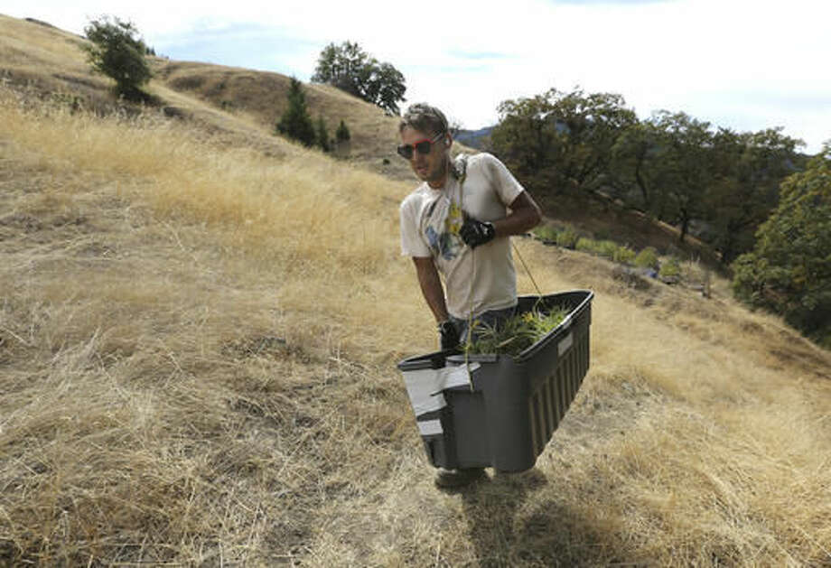 In this Wednesday, Oct. 12, 2016 photo, Anthony Viator carries a bin filled with marijuana buds harvested from the farm of grower Laura Costa, near Garberville, Calif. Costa opposes the passage of Proposition 64, the Nov. 8 ballot initiative which would legalize the recreational use of marijuana, fearing that corporate interests and big farms will put her and other small growers out of business. (AP Photo/Rich Pedroncelli)