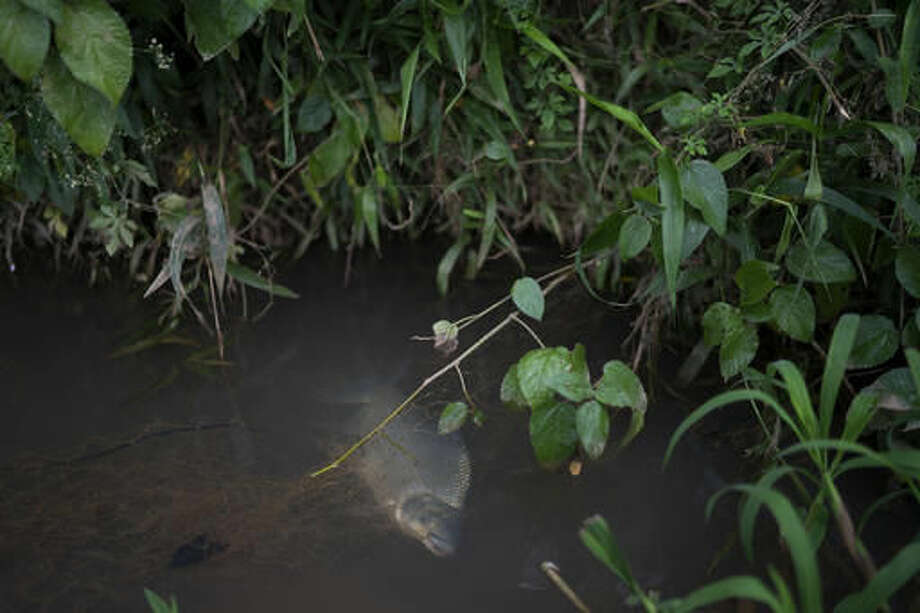 This Oct. 10, 2016 photo shows a fish trapped in an old fishing net left abandoned in the Doce River, in Colatina, Brazil. One year ago a dam burst at an iron ore mine, causing flooding and mudslides, engulfing towns and displacing thousands of people. The mud traveled through the Doce River, polluting, and affecting the cities dependent on the river. (AP Photo/Leo Correa)