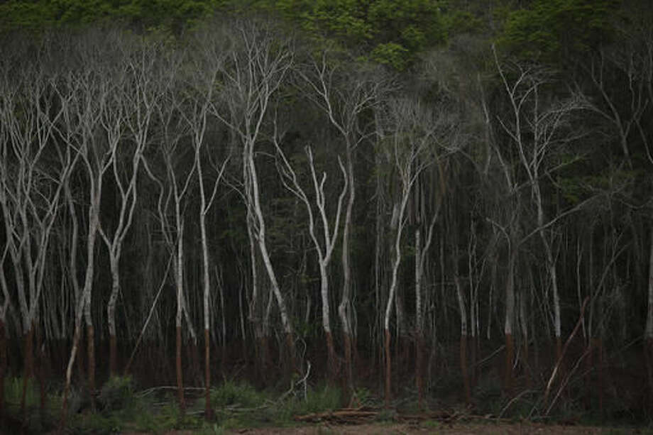 This Oct. 13, 2016 photo shows brown tidemarks halfway up the trunks of trees lining the banks of the Doce River, in Paracatu, Brazil. It has been almost a year after a dam holding back a giant pond of mine waste broke open, unleashing a tsunami of mud that killed 19 people, buried entire towns and polluted hundreds of miles of rivers, streams and forest land in Brazil's Doce River Valley. (AP Photo/Leo Correa)