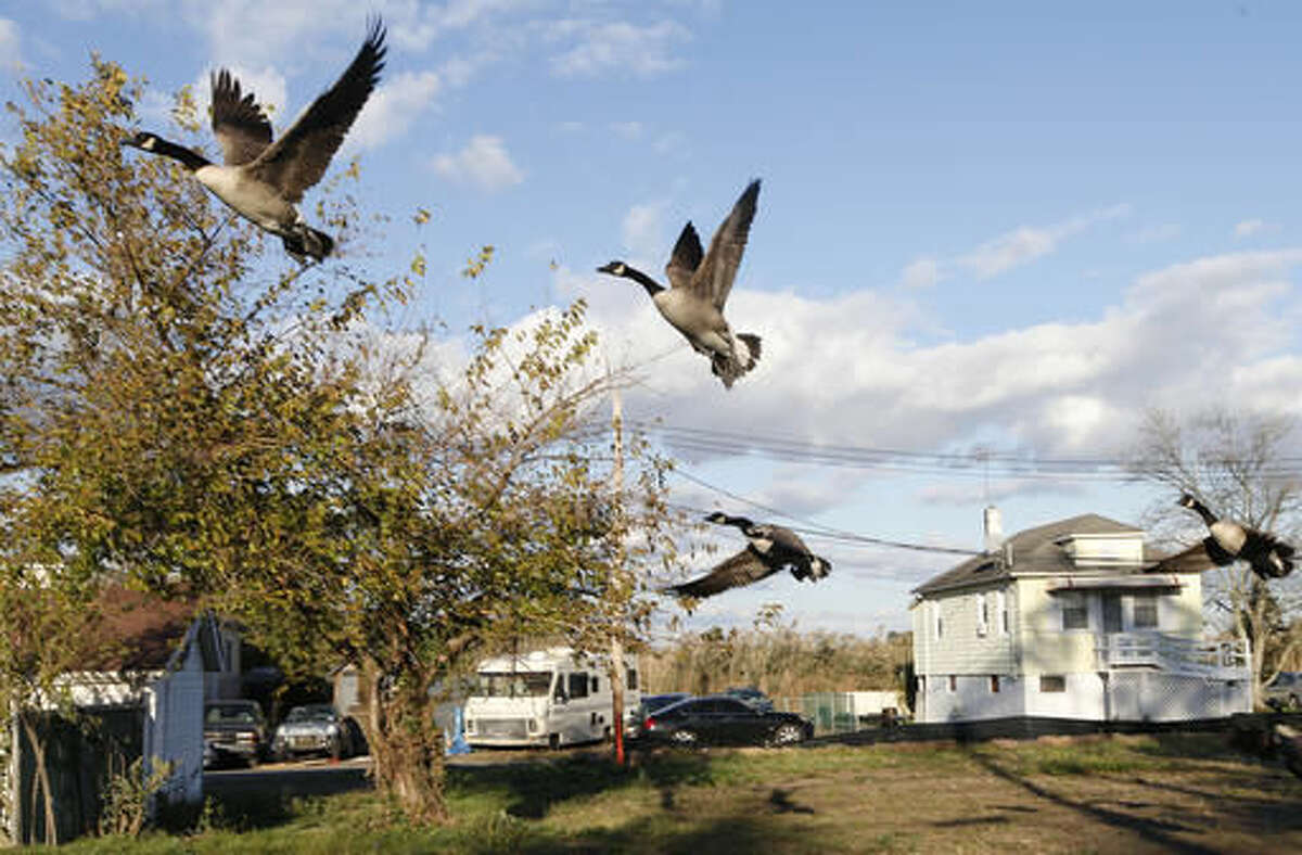 In this Tuesday, Oct. 25, 2016 photo, a flock of Canada geese take to the sky from a vacant lot where a house was destroyed in the Oakwood Beach neighborhood of Staten Island, in New York, four years after Superstorm Sandy ravaged the area with it's deadly storm surge. The Staten Island neighborhood of Oakwood Beach, improbably built on a salt marsh, is slowly being returned to nature after state officials concluded it would be foolish to rebuild in a place with so little protection from the sea. Under a state buyout program, 196 homes have been demolished so far. Another 103 will soon meet the same fate. (AP Photo/Kathy Willens)
