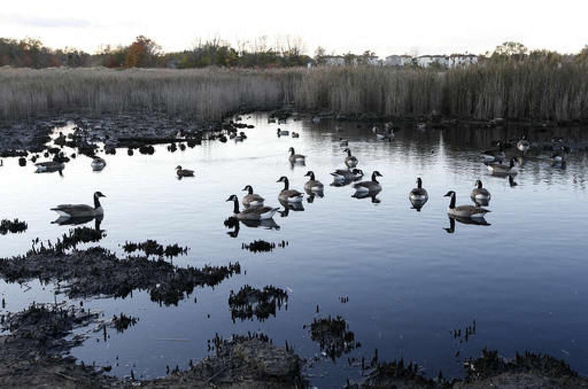 In this Tuesday, Oct. 25, 2016 photo, geese swim in the tidal marshland waters adjacent to Oakwood Beach in Staten Island, in New York, four years after Superstorm Sandy's deadly floodwaters coursed through the neighborhood's streets. Oakwood Beach, improbably built on a salt marsh, is slowly being returned to nature after state officials concluded it would be foolish to rebuild in a place with so little protection from the sea. Under a state buyout program, 196 homes have been demolished so far. Another 103 will soon meet the same fate. (AP Photo/Kathy Willens)
