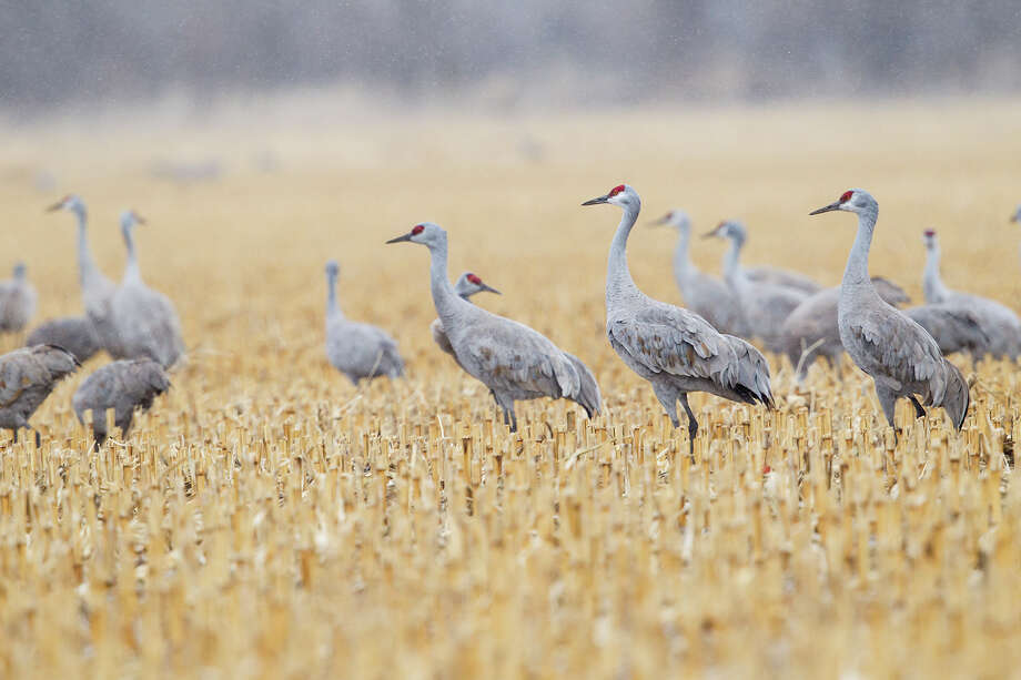 Sandhill cranes have arrived in Texas for the winter.  Sandhill cranes are the most abundant of worldwide cranes.  Photo Credit:  Kathy Adams Clark  Restricted use. Photo: Kathy Adams Clark / Kathy Adams Clark/KAC Productions