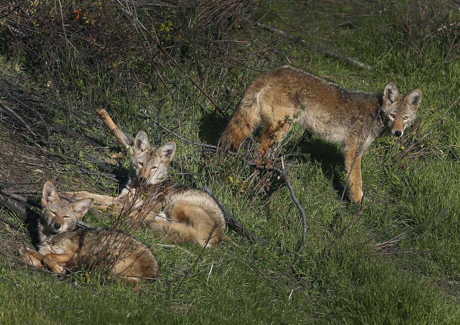 A pack of coyotes basks in the sun on a hillside near Monte Deignan's home in Larkspur, Calif. on Friday, Dec. 2, 2016. A community meeting to discuss coexistence between humans and coyotes will take place on Dec. 12 in Corte Madera. Photo: Paul Chinn, The Chronicle