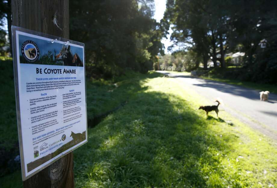 Signs posted by the Project Coyote organization educate neighbors about the presence of coyotes on a Larkspur, Calif. trail popular with dog walkers on Friday, Dec. 2, 2016. A community meeting to discuss coexistence between humans and coyotes will take place on Dec. 12 in Corte Madera. Photo: Paul Chinn, The Chronicle