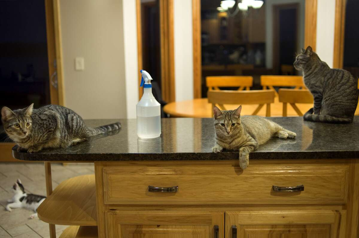 Cats sit on kitchen counter tops at Shores of the Mitten Animal Rescue and Transport President Sylvia Gilvydis's home in Sanford. Gilvydis is fostering cats at her home while working to raise money for an animal sanctuary. Throughout December S.M.A.R.T Paws will be at Soldan's Pet Supplies selling baked goods to raise money and will have cats that are available for adoption from noon to 6 p.m. On December 9 they will be at Members First Credit Union instead.